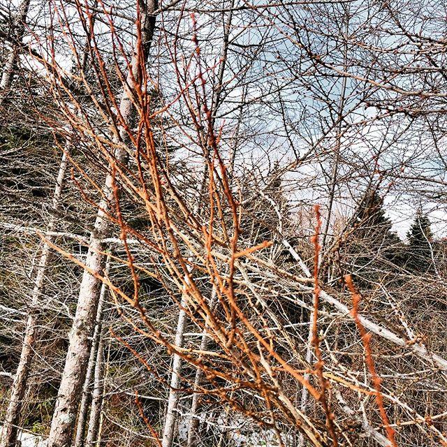 #松本スタイル 樹々は、冬に枝を伸ばし、若芽を付けるのですね。
