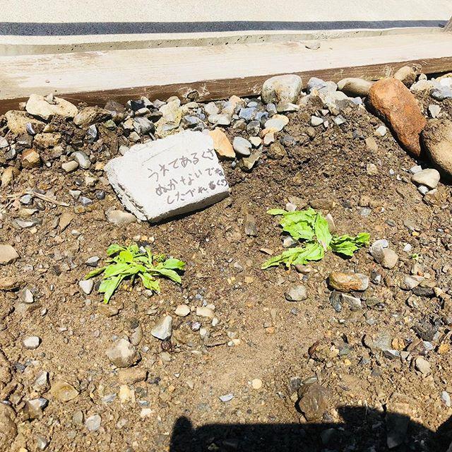 お庭野草園の第一歩、オオバコを植えてみたよ。