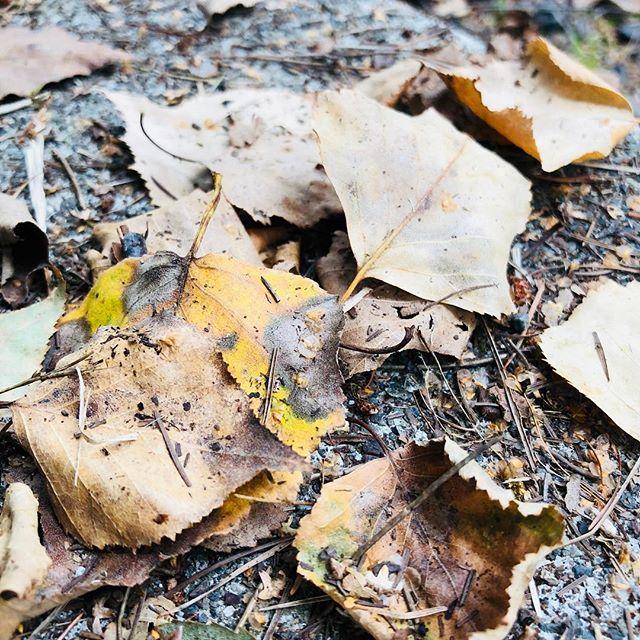 【ブッシュクラフトのサバイバル5要素を知っていると見えるものがある】落ち葉の塊を掃除すると虫がうわーって出てくる時がある。今までは気持ちわる!って思って終わりだったけど、今は違う。虫たちもサバイバル5要素に沿って生き抜いているんだなと。私たちも森の恵みでシェルターを作るときは、落ち葉をまとって体温を維持する。変温動物である虫にとって暖かい場所を探すしかない。そんなサバイバル5要素を明日開催する全ての講座でお伝えします。台風を心配していましたが、どうやら晴れる明日。よかったら、国営アルプスあづみの公園(大町松川地区)にお越しください。他にもフリマやクラフトなど多くのお店とステージがあるようですよ。イベント詳細↓https://www.facebook.com/events/1894797427222937/#ブッシュクラフト